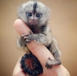 [My favorite animal, the small, but mighty finger monkey.]